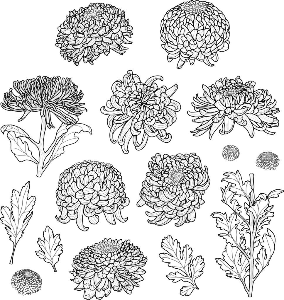 chrysanthemum illustrations