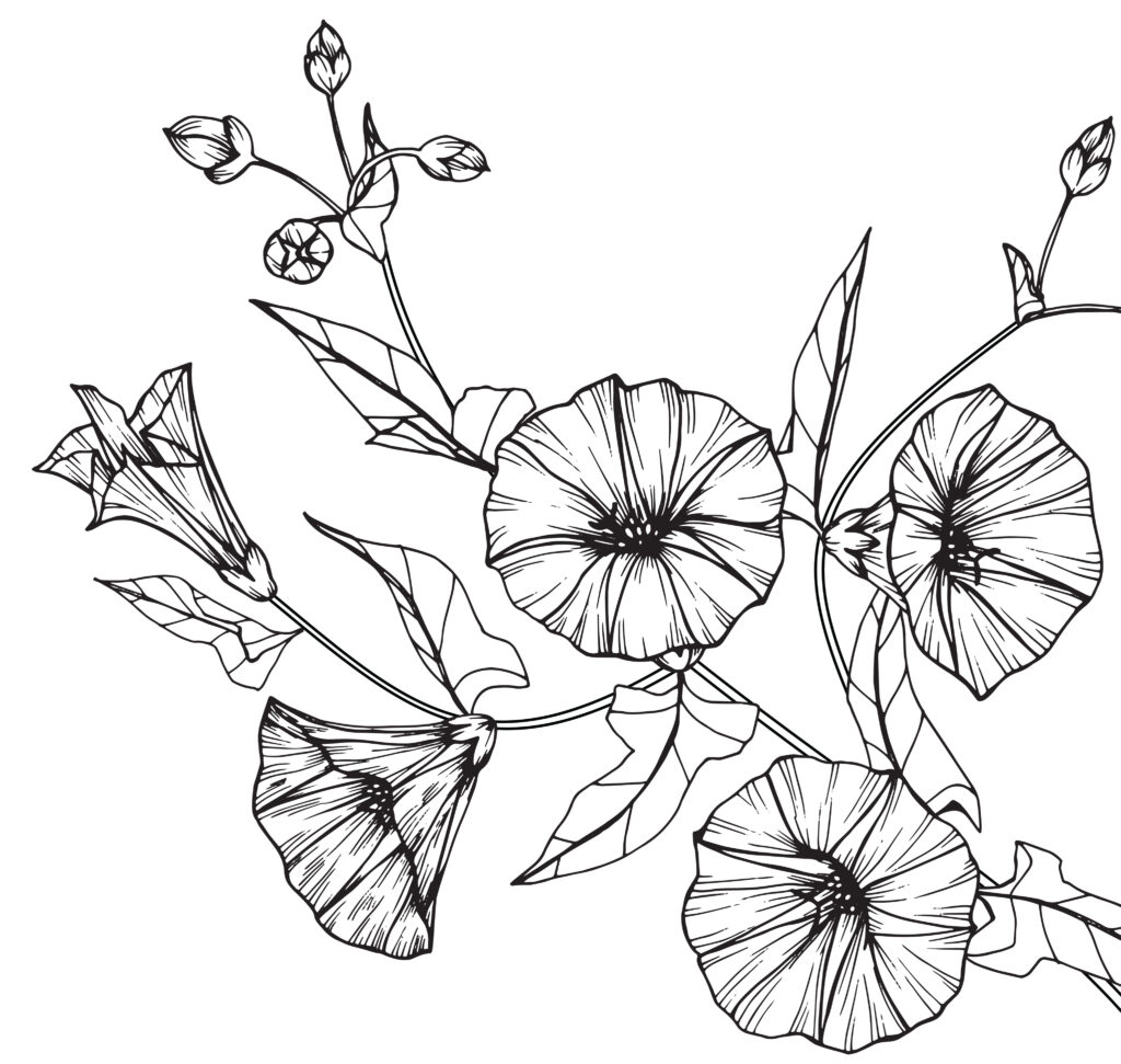 morning glory or aster illustration